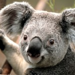 Koala fra Austarlien
